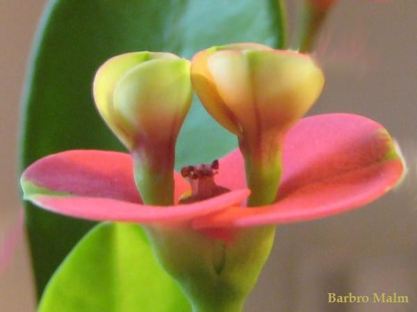 Kristi törnekrona (Euphorbia milii)