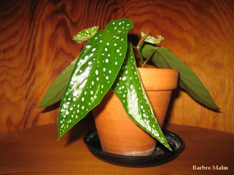 Fläckbegonia, Begónia corállina även kallad änglavinge