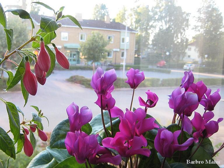 Fuchsia och cyklamen