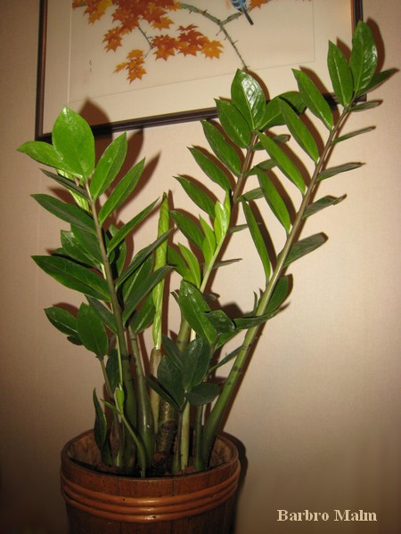 zamiakalla (Zamioculcas zamiifolia)