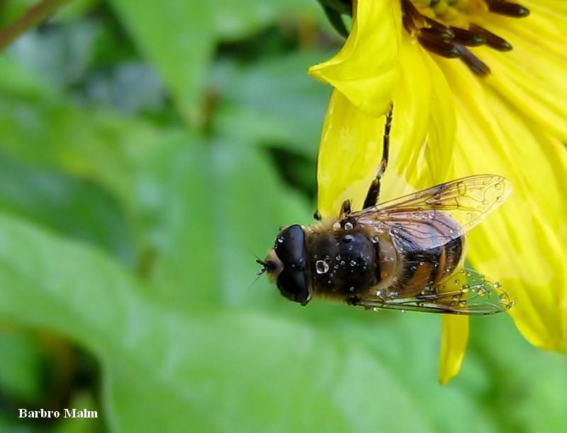 Blomfluga på höstsolros